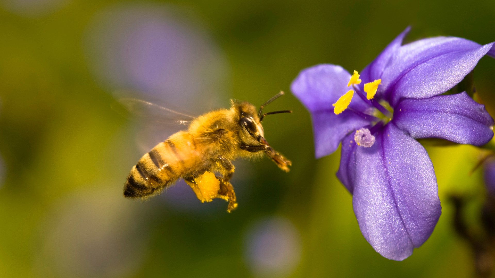 Honey bee hovering near a flower